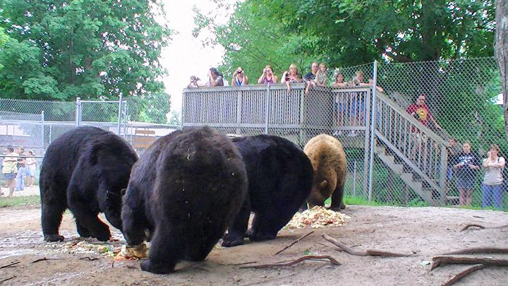 Oswald's Bear Ranch Upper Peninsula | Newberry MI Attractions | Upper Peninsula Things to See and Do | What Attractions are in the Upper Peninsula? | US Bear Ranches | UP Attractions